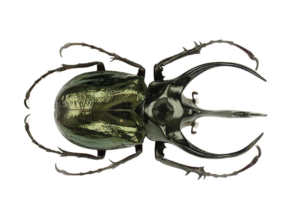 Giant Atlas Beetle Giant Atlas Bee...
